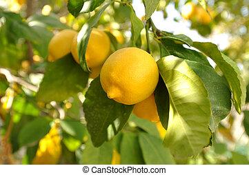 Lemon - Organic agriculture - lemon tree