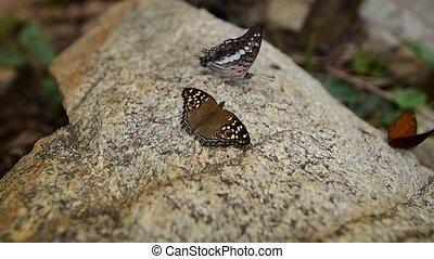 Lemon Pansy butterflies flutter on stone