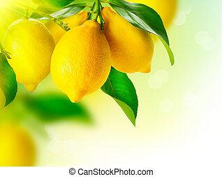 lemon., reif, zitronen, hängen, a, zitrone, baum., wachsen,...