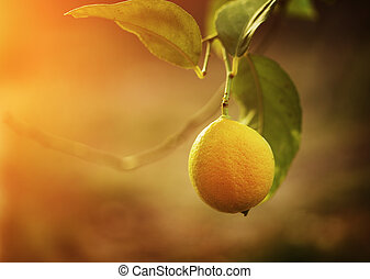 Lemon - Ripe yellow lemon growing on tree. Copyspace.