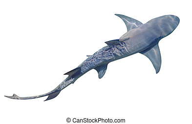 Lemon Shark isolated