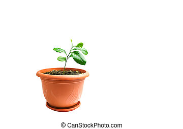 Lemon sprout in a pot on white background