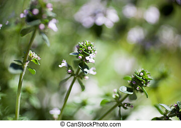 Close up of lemon thyme blooming