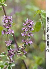 Lemon thyme flowers - Latin name - Thymus citriodorus