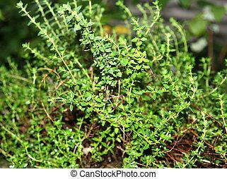 Lemon thyme herb growing in a garden