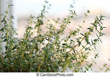 Lemon thyme plant in a flower pot on windowsill. Shallow dof