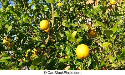 Lemon tree (4K)