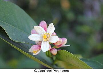 Lemon Tree Blooms - Close up of a meyer lemon tree