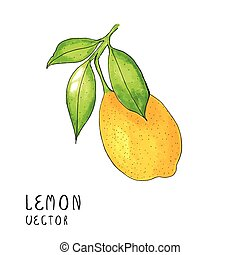 Lemon tree branch, watercolor painting on white background, vector illustration