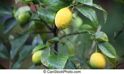 lemon tree in the rain