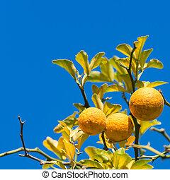 Lemon tree on the sky background.