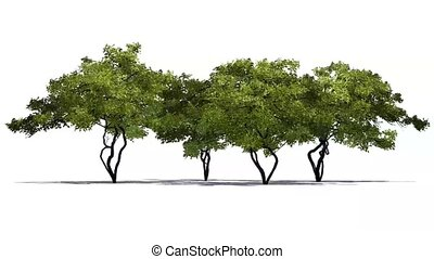 lemon trees in strong wind - white background