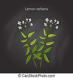 Lemon verbena, or lemon beebrush aloysia citrodora - aromatic and medicinal plant. Vector illustration