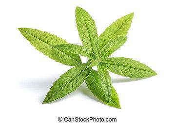Lemon Verbena (beebrush)