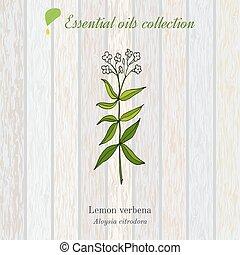 Lemon verbena, essential oil label, aromatic plant. Vector illustration