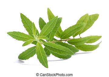 Lemon Verbena (Louisa Herb)