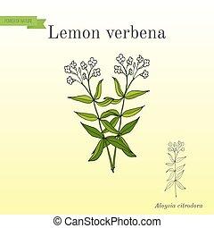 Lemon verbena, or lemon beebrush aloysia citrodora - aromatic and medicinal plant. Hand drawn botanical vector illustration