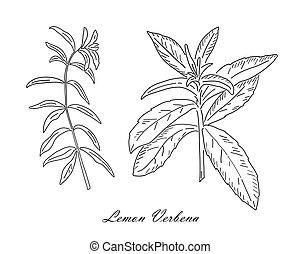Lemon verbena tea herb isolated on white background. Vintage design sketched vector illustration. Line art style.