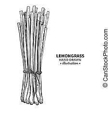 Lemongrass vector drawing. Isolated vintage illustration of ...