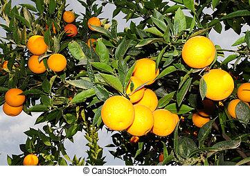 lemons at tree