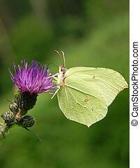 Lemons butterfly