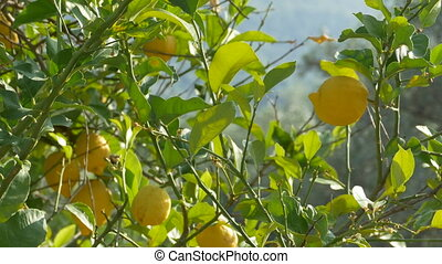Lemons Grown on Tree
