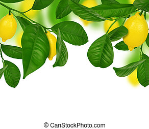Lemons hanging on a lemon tree on white background.