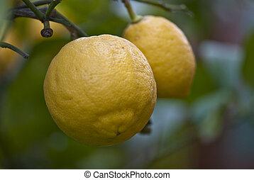 Lemons in the Garden, Italy