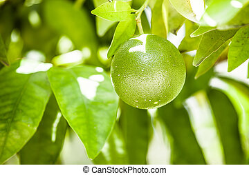 Lemons on green tree