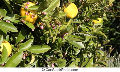 lemons on lemon tree slide rail shot
