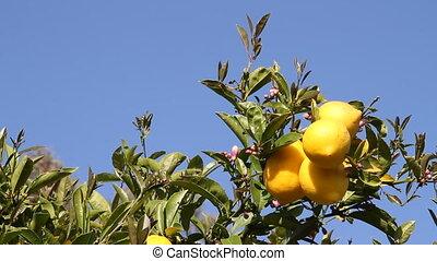 lemons on lemon tree with blue sky