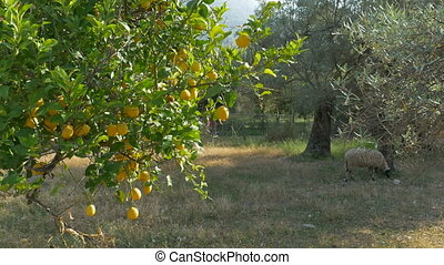 Lemons on Rural Orchard - Lemons Trees in a countryside...