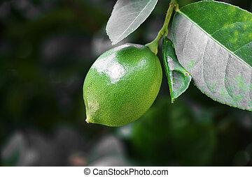 lemons on tree.