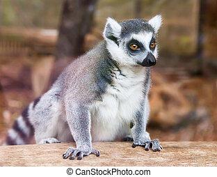 lemur., リング - 尾行された