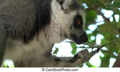 Lemur A Wild Animal Eating