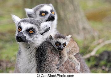 lemur anel-ring-tailed, com, bebê