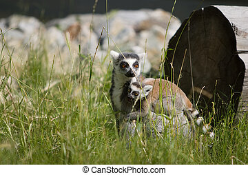 Lemur carrying child