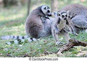 Lemur catta (maki) of Madagascar