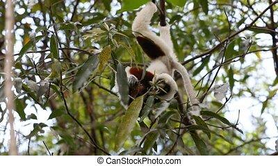 Lemur Coquerel's sifaka (Propithecus coquereli) - Endemic...
