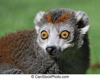 lemur coroado