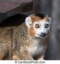 lemur coroado, (eulemur, coronatus)