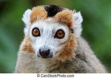 lemur coroado, retrato