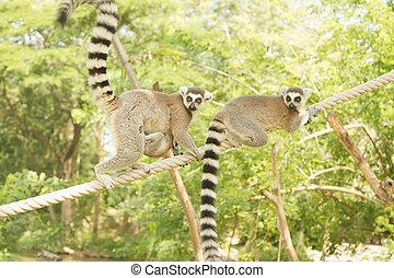 lemur family in the open zoo