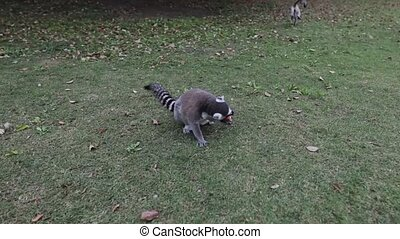 Lemur in wild at tropical park. Slow Motion Footage.