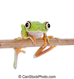 Lemur leaf frog on white background