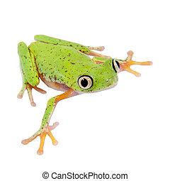 Lemur leaf frog on white background - Lemur leaf frog,...