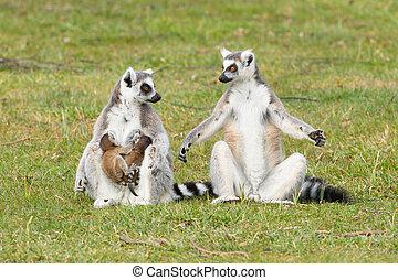 (lemur, lemur, catta), beugel ge-schauuuwd