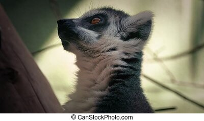 Lemur Monkey Chewing Food - Lemur monkey in zoo eating food
