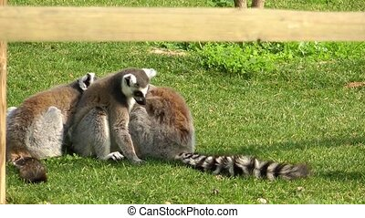 Lemur on the Grass