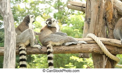lemur on the nature